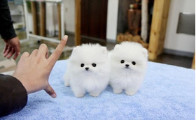 volpini pomerania toy